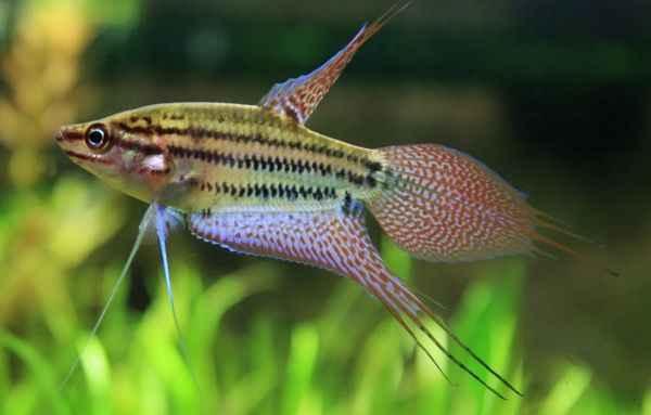 Cá Bã Trầu - Cá Thanh Ngọc