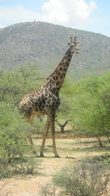 Seen at Mokolodi Game Reserve