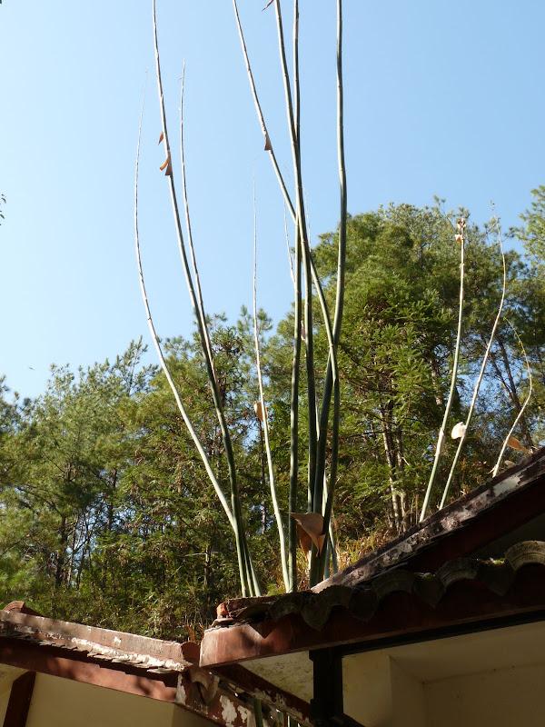 rare bambous nus