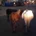 கட்டாக்காலி மாடுகளினால் போக்குவரத்திற்கு இடையூறு மக்கள் விசனம் ! வவுனியா #