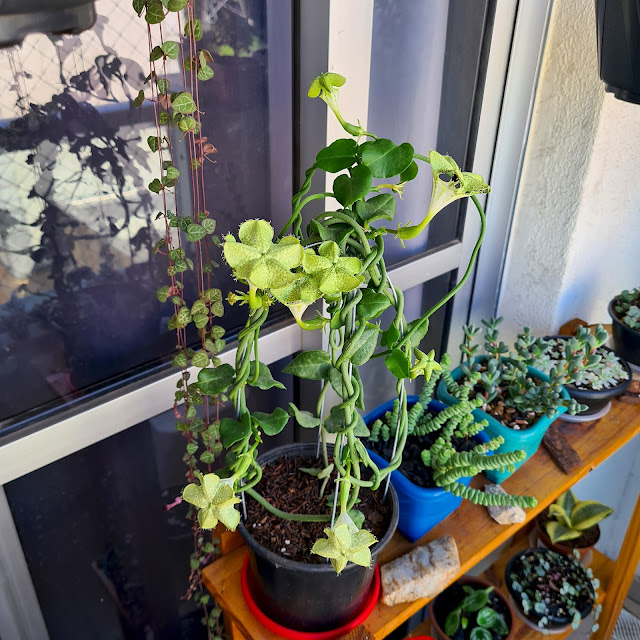 Planta Paraquedas - Ceropegia sandersonii