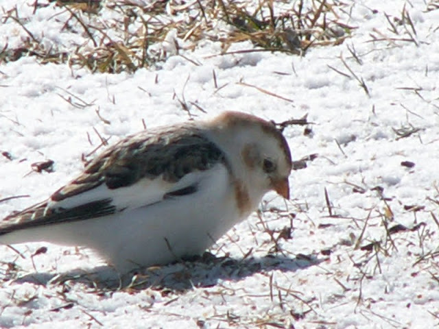 Snow Bunting (by Serena Formenti)