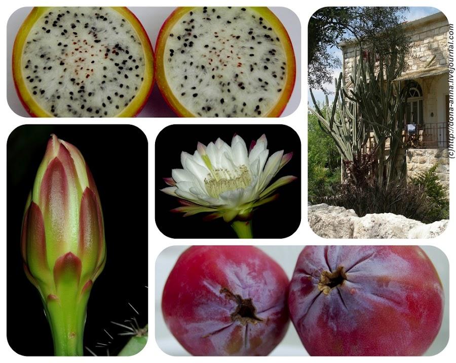 Из трех видов плодов кактусов,