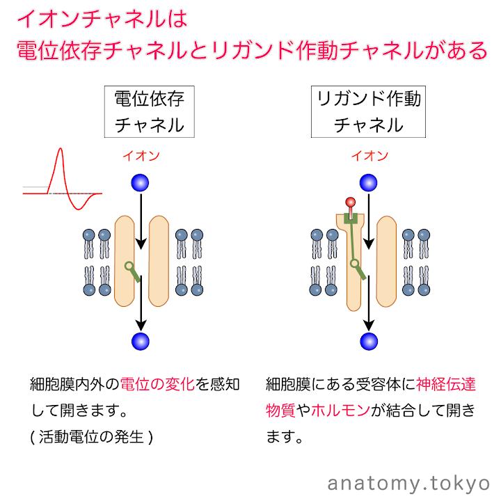 t111-12-電位依存チャネル・リガンド作動チャネル.png