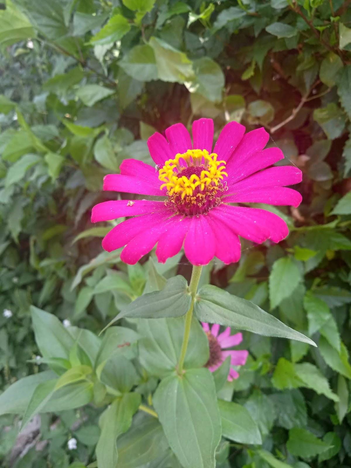 Bunga Zinia
