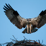 The Osprey has landed . By Kevin Kraft. See more photos at www.kevinkraftphotography.com