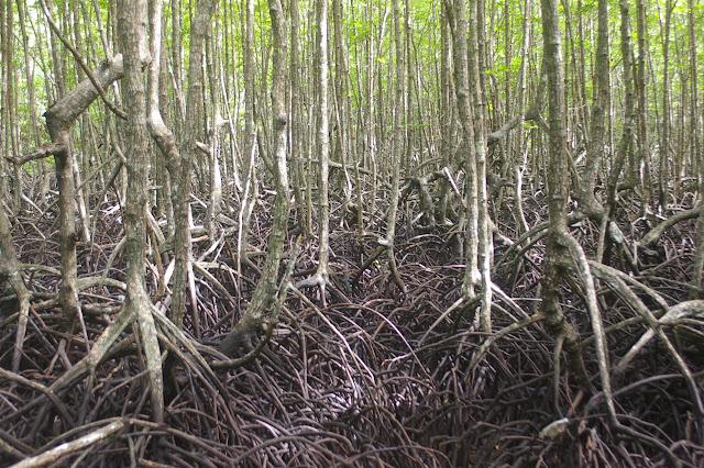 Mangrove sur la côte sud de Pulau Gaya (Sabah), 20 août 2011. Photo : J.-M. Gayman