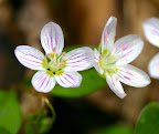 Spring Beauty (Claytonia virginica).