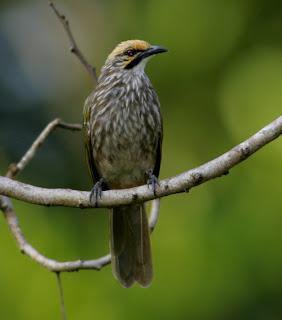 Hal+  Hal+Yang+perlu+Diperhatikan+Dalam+Beternak+Burung+Cucak+Rowo Hal  Hal  Yang perlu Diperhatikan Dalam Beternak Burung Cucak Rowo