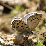 Polyommatus sieversii goranus TSHIKOLOVETS, 1993, mâle, Sangou-Dara, 2900 m, Pamir de l'ouest, est de Khorog, 17.VII.2009, Tadjikistan. Photo : J.-F. Charmeux