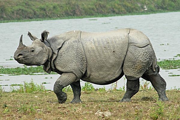 Badak Bercula Satu Jawa Rhinoceros sondaicus