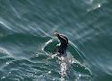 fjordland crested penguin.jpg