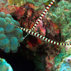Pipefish with eggs!