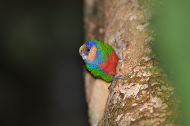 Red-breasted Pygmy-parrot, photographed on 10 August 2009 in the Arfak mountains, West Papua, Indonesia. Photo: Collaertsbrothers / Flickr