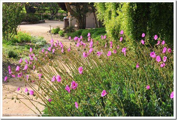 160321_SLOBG_0025_Cistanthe-grandiflora