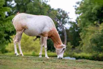 दुनिया के 10 सर्वश्रेष्ठ सींग वाला जानवर | World's 10 Best Horned Animals