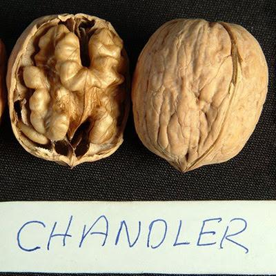 Chandler грецкий орех