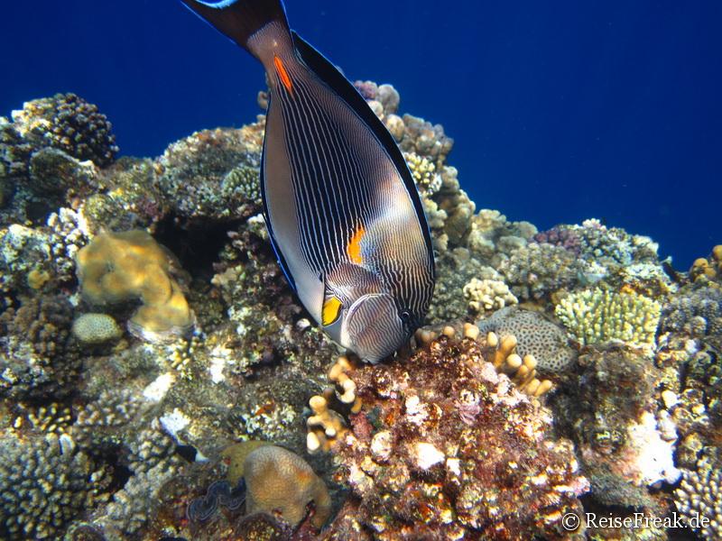 023 Arabischer Doktorfisch (Acanthurus sohal)  Ägypten Dez 2014 - Marsa Alam - Coraya Bay IMG_0335
