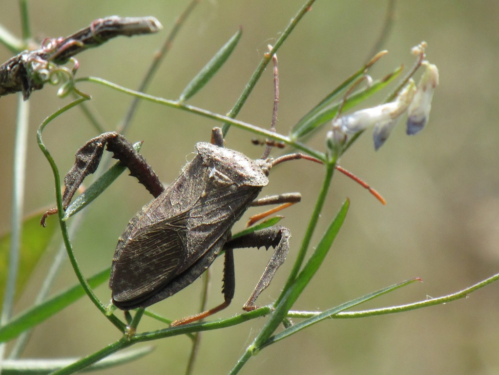 [Florida-leaf-footed-Acanthocephala-f%5B1%5D]