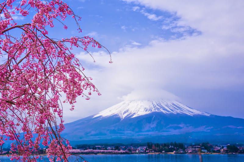 河口湖 長崎公園 桜 写真8