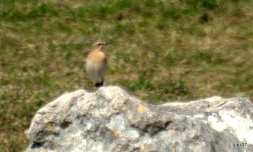 Photo: Обыкновенная каменка, Northern Wheatear, (Oеnanthe oеnanthe), Плеврон