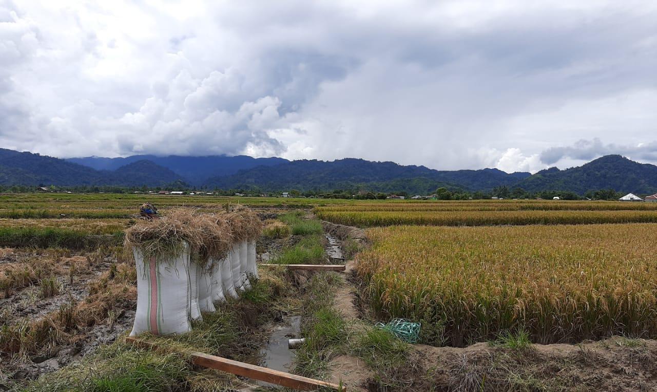 Produksi Pangan Di Tengah Pandemi Covid 19 Tetap Berjalan, Kostratani di Sigi Semangat Bimbing Petani