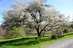 The Grandmother Apple Tree in all her glory. May 9.