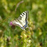 Papilio machaon LINNAEUS, 1758. Super Sauze, 2050 m (Alpes-de-Haute-Provence), 4 août 2009. Photo : J.-M. Gayman