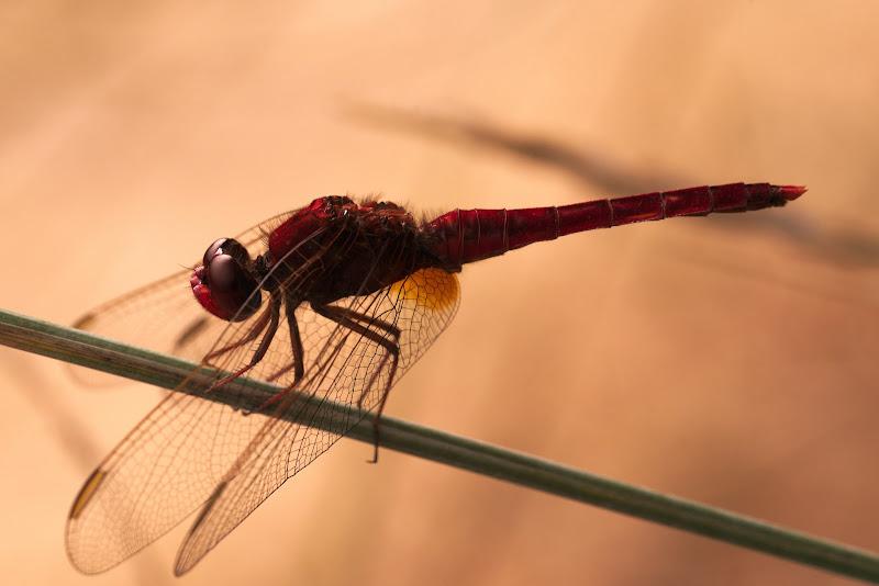 Libellula rossa in Camargue di gianni_bonini
