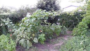 2010年8月4日の家庭菜園の様子