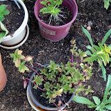 Gardening 2010, Part Two - 101_1897.JPG