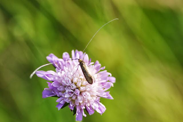 Adelidae : Nemophora metallica (PODA, 1761). Les Hautes-Lisières (Rouvres, 28), 17 juillet 2013. Photo : J.-M. Gayman