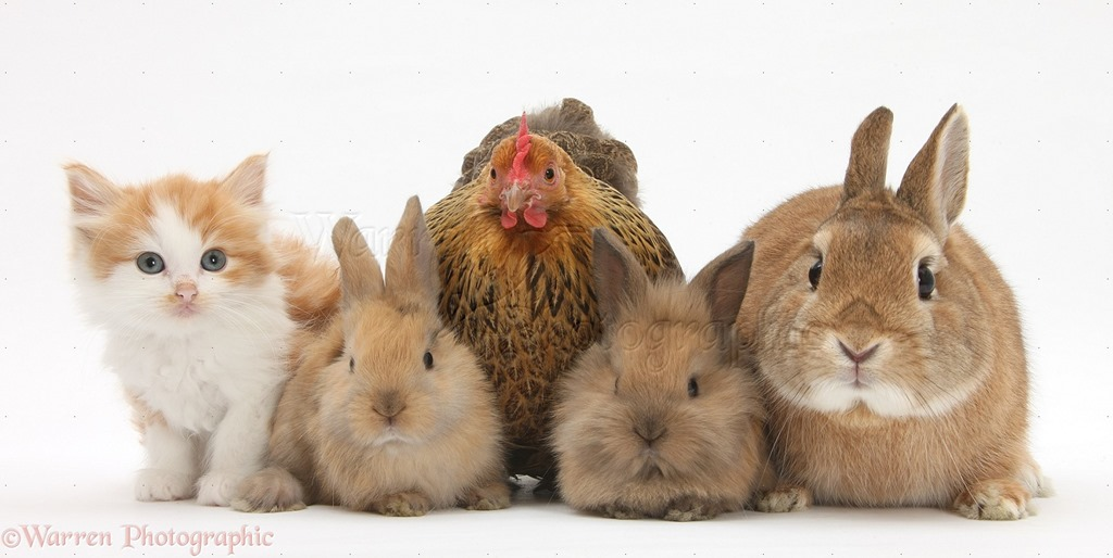[28030-Chicken-kitten-and-bunny-rabbits-white-background%5B4%5D]