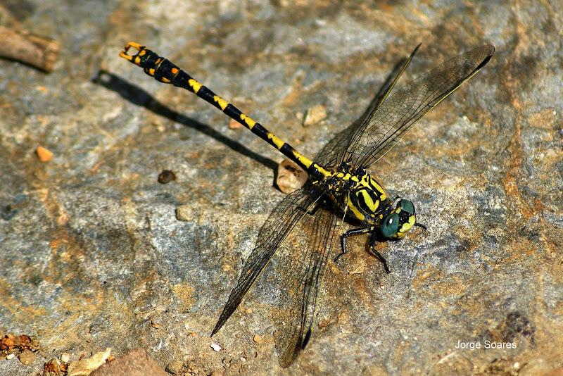 Libelinha Large Pincertail Onychogomphus uncatus