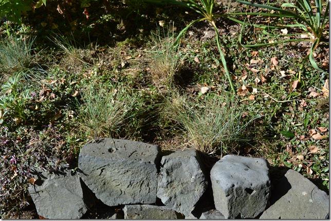 Schillergras, Koeleria glauca