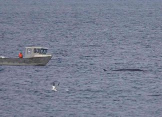 😮 Pour la première fois en 17 ans, aucune baleine ne sera harponnée dans les eaux islandaises