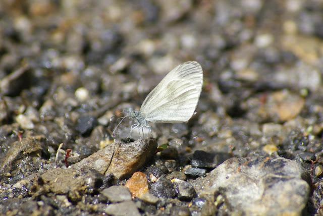 Leptidea sinapis LINNAEUS, 1758, mâle, seconde génération. La Blachière (Ubaye), 9 juillet 2010. Photo : J.-M. Gayman