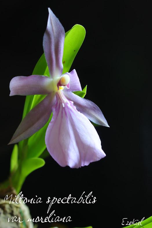 Miltonia spectabilis var. moreliana IMG_4145