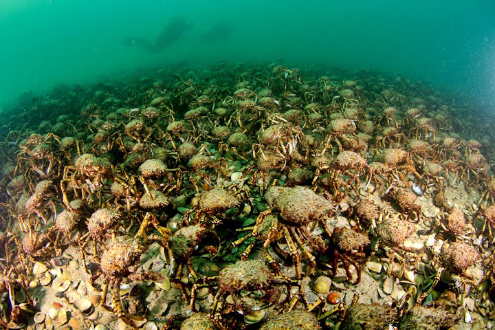 Giant Spider Crabs, um exército no fundo do mar