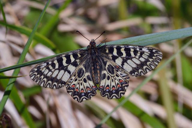 Zerynthia polyxena (DENIS & SCHIFFERMÜLLER, 1775), femelle. Le Vigier, commune de Lagorce (Ardèche), 19 avril 2014. Photo : L. Voisin