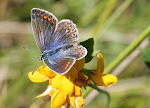Almindelig blåfugl, hun - Skiveren.4.tif.jpg