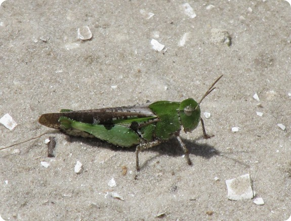4 green grasshopper