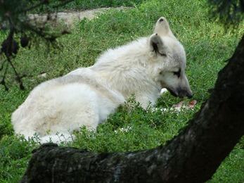 2017.08.26-049 loup blanc