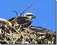 Originl photo of the Osprey Nest
