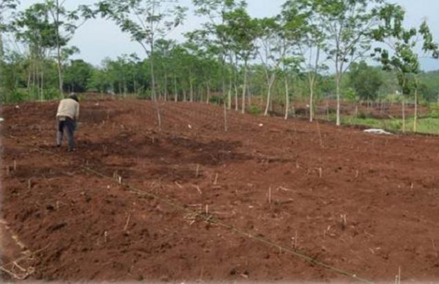 areal kebun singkong untuk menanam singkong