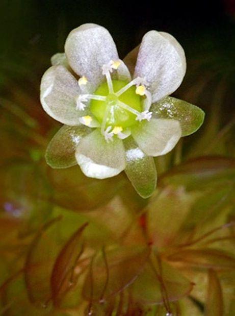 Альдрованда пузырчатая (Aldrovanda vesiculosa)