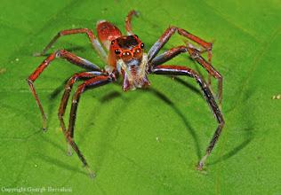 Photo: Jumping spider (Salticidae). Halmahera Island, Indonesia.