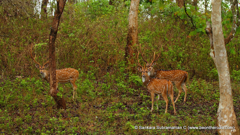 Young spotted deer males pose for the camera