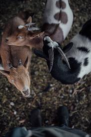 Fabula las cabras montesas