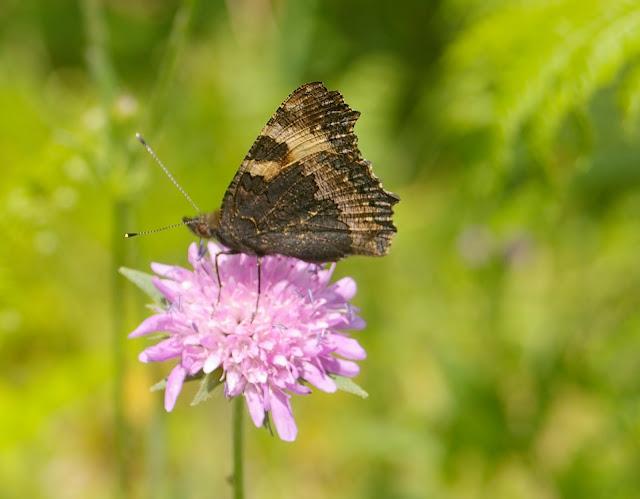 Aglais urticae LINNAEUS, 1758. Forêt de Ramondens, Montagne Noire, 950 m (Tarn), 11 juin 2005. Photo : Jean-Marc Gayman